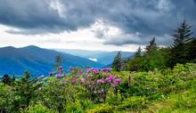 Rhododenderon Blooming In The ...