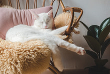 Beautiful White Cat Sitting On His Chair