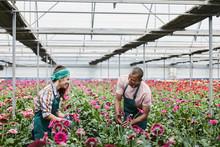 Smiling Florists Examining Pink Daisies At Greenhouse