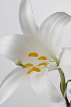 White Lily Close-up. Stacked I...