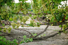 Garden With Grapes Growing