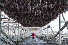 Photographer While Taking Pictures Of Dried Processed Fishes Hanging On Wooden Structure For Food Preservative In Lofoten,Norway / Food Preservative Concept
