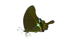 The Paris Peacock Butterfly Is...
