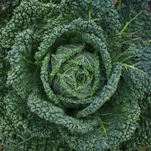 Close Up Of A Green Cabbage In...