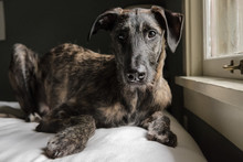 Large Breed Puppy On Bed In Window Light
