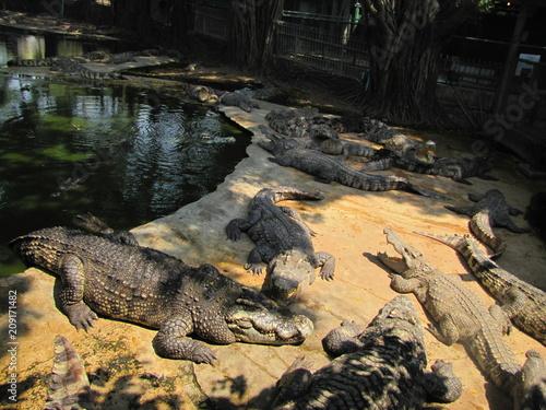 Foto op Aluminium Krokodil Krokodyl