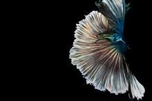 Fighting Fish, Colorful Background, Halfmoon Betta Fish