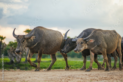 Poster Buffel Buffalo walk home. Buffalo in Thailand.