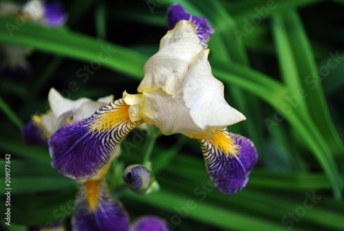 Staande foto Iris Purple, white and yellow iris flower blooming, close up detail, blurry green leaves background