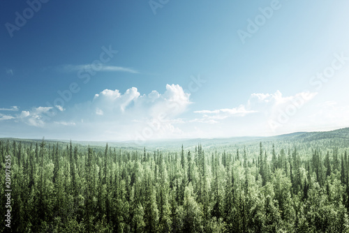 Foto op Canvas Bos fir tree forest in sunny day