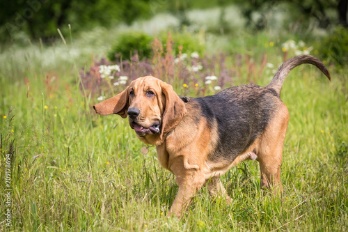 Tablou Canvas Thoroughbred Bloodhound dog