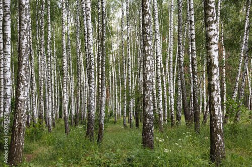 Natural background, birch grove, forest, summer birchwood, Beautiful landscape. non-urban,