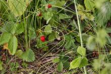 Wild Strawberry, Forest, Green Grass, Sweet, Dessert, Erry, Closeup, Fresh, Fruit, Nature,