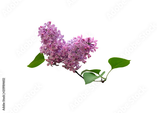 Foto op Canvas Lilac Beautiful blooming lilac branch isolated on white background.