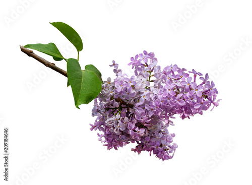 Keuken foto achterwand Lilac Lilac branch isolated on white background. Design element.