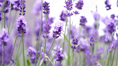 Photo sur Toile Lavande Lavender flowers blooming which have purple color and good fragrant for relaxing in summer.