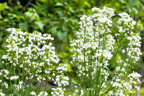 Fotografie, Obraz  flowering horseradish plant in garden