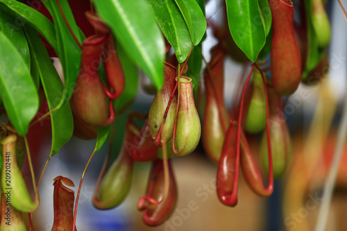 Carta da parati Tropical pitcher plants in the garden