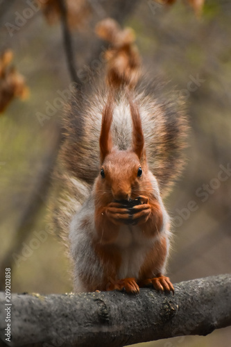 Tuinposter Eekhoorn A beautiful squirrel sitting on a tree branch in a spring forest. Close-up of a rodent.