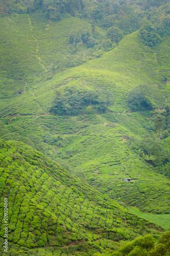 Fototapeta Cameron Highlands Boh tea plantation obraz na płótnie