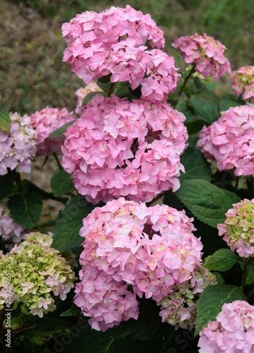 Fotobehang Hydrangea hydrangea bush with pink flowers