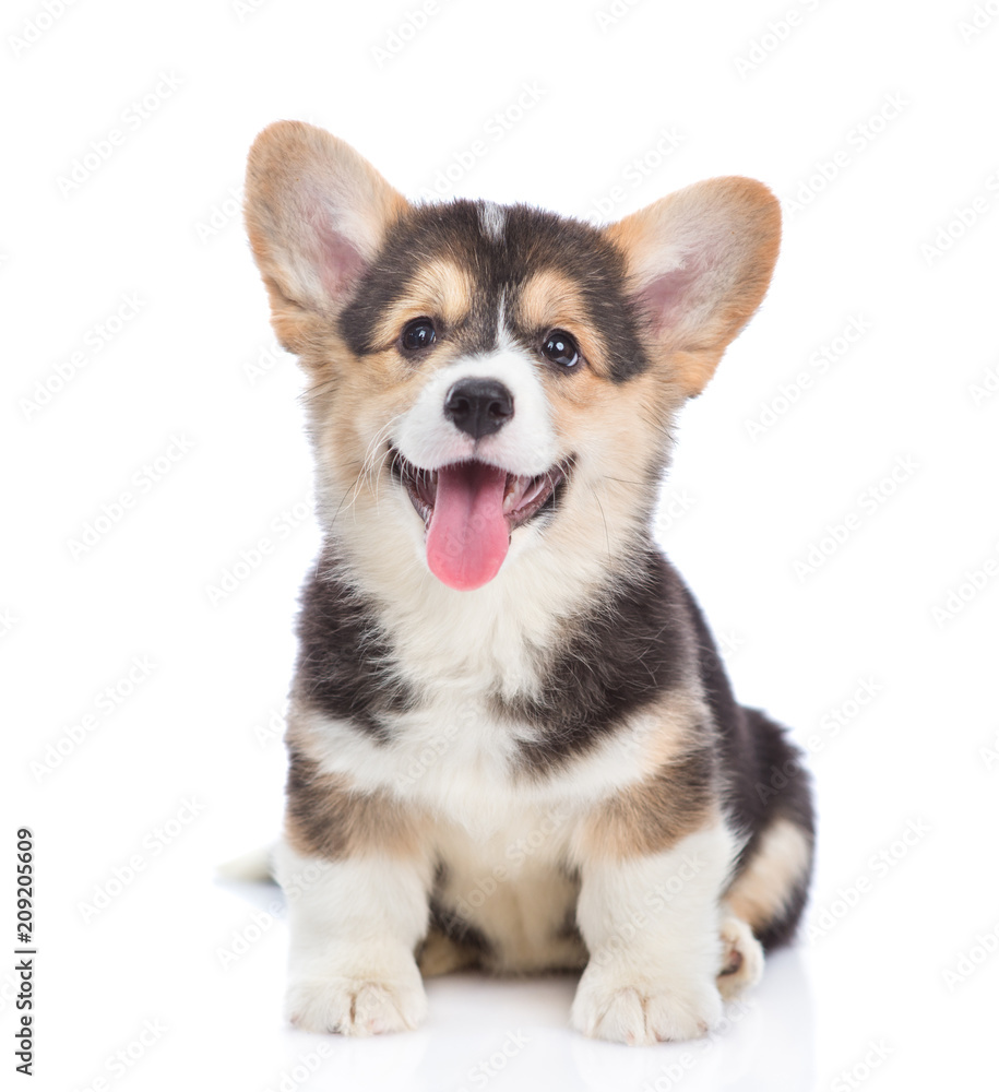 Fototapety, obrazy: Happy Brown Pembroke Welsh Corgi puppy looking at camera. isolated on white background