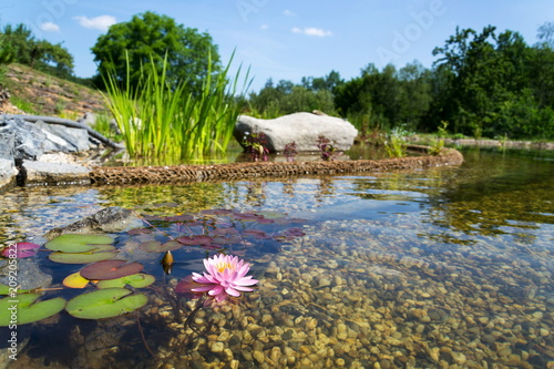 Nénuphars Beautiful water lily plants used at natural swimming pool for filtering and purifying water without chemicals