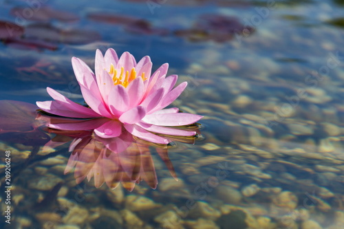 Fotografía  Beautiful water lily plants used at natural swimming pool for filtering and puri