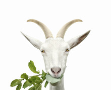 Portrait Of Goat Eats Grass. Isolated On White