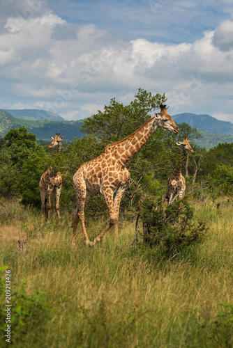 South African giraffe (Giraffa, G. camelopardalis) Family of giraffes standing on a hill in the thick lowveld, Pilanesberg National Park, Kalahari and lowveld, South Africa Wall mural
