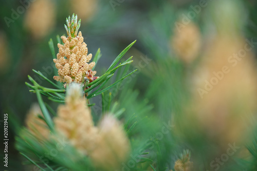 Photo  Male cones of Scots pine