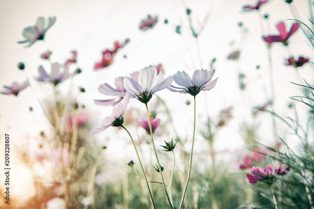 Bautiful damatic tone cosmos flower in the garden