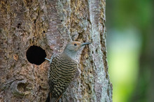 A Female Northern Flicker At Her Nest