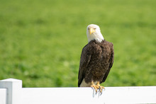 A Bald Eagle Perched On A Fence