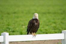 A Bald Eagle Perched On A Fence