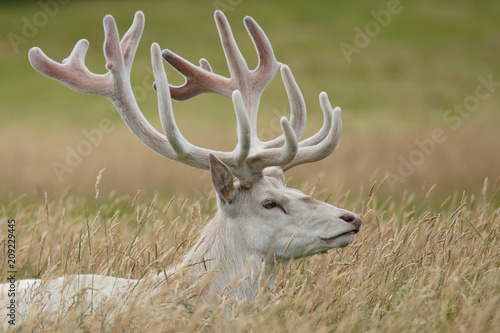 White Red Deer Stag Wallpaper Mural