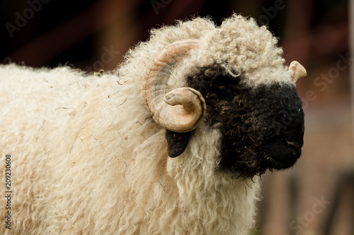 Photo Valais black nose with soft bokeh