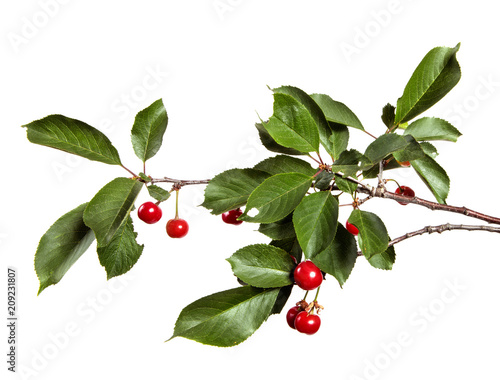 Slika na platnu Cherry tree branch with red cherry berries and green foliage on a white isolated background