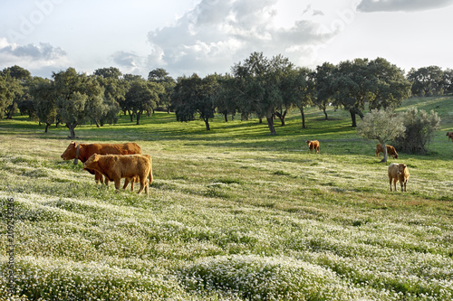 Cattle grazing in the Alentejo plain Wallpaper Mural