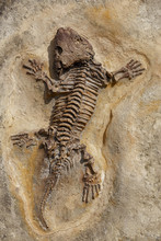 Fossil Of Prehistoric Lizard Skeleton On The Rock