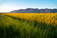 Canola Field Against Northern ...