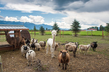 Rescued Alpaca With Sheep And Llama