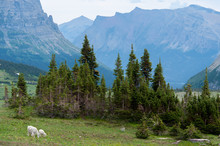 Two Mountain Goats In Glacier National Park