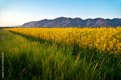 Deurstickers Cultuur Canola field against Northern Rocky Mountains