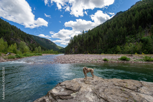Weimaraner standing by the Flathead River, Montana