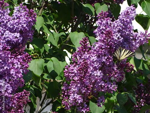 Foto op Canvas Lilac Lilac