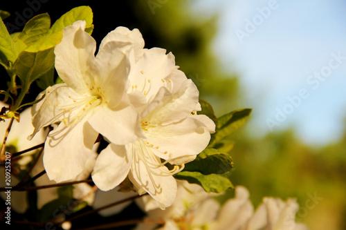 Pretty White Flowers Blooming In A Garden Kaufen Sie Dieses Foto
