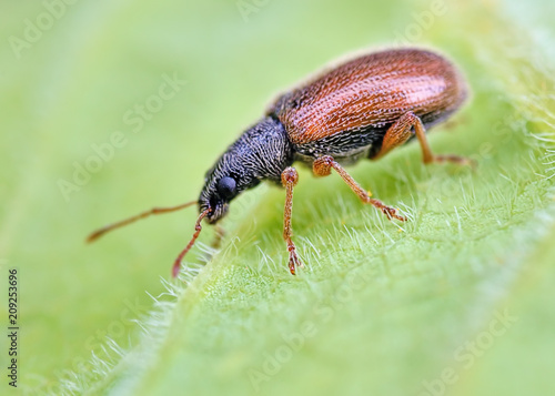 Staande foto Macrofotografie Very small weevil rest on green leafs with blurry green background. Macro closeup image of european tiny beetle