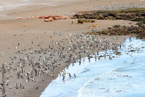 A Raft of Magellanic Penguin Walking on landing Beach to colony.  Punta Tombo reserve, Argentina