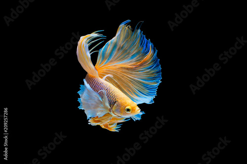 The moving moment beautiful of yellow siamese betta fish or half moon betta splendens fighting fish in thailand on black background Wallpaper Mural